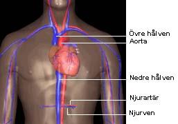 blodsystemet i kroppen